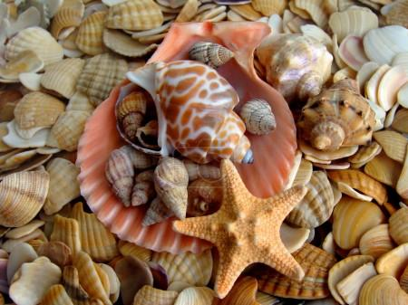 cockleshell a starfishes