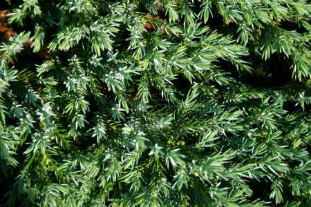 Green thuja and water droplet