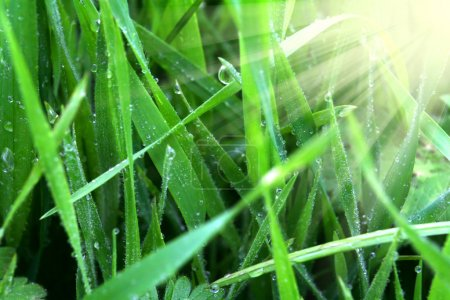 Green grass with dew at sunrise