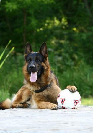 Shepherd and soccer ball