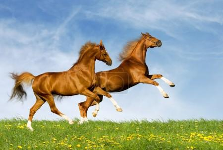 Chestnut bavarian horses in field