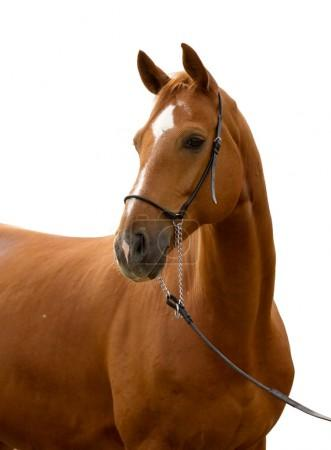 Portrait of chestnut horse isolated