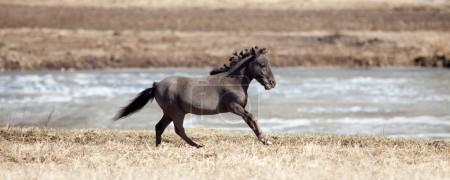 Falabella horse galloping in meadow