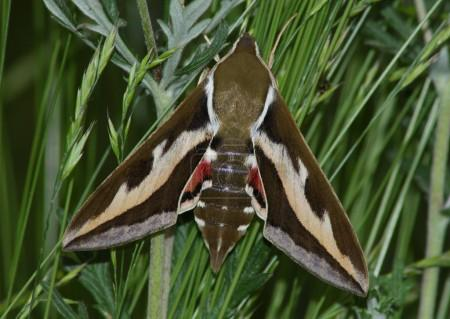 Night hawkmoth