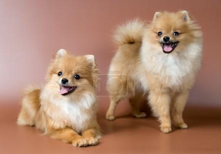 Two spitz-dogs in studio