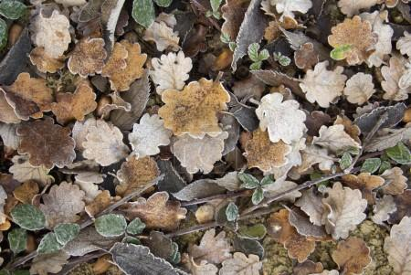 Dry and frozen leaves