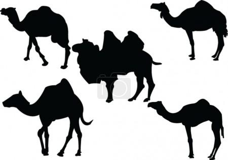 Camels collection