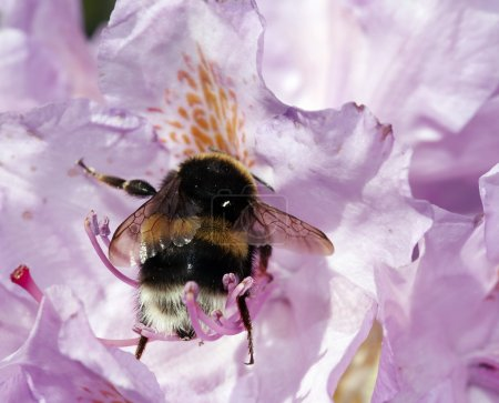 Humble bee in the bloom of rhododendron