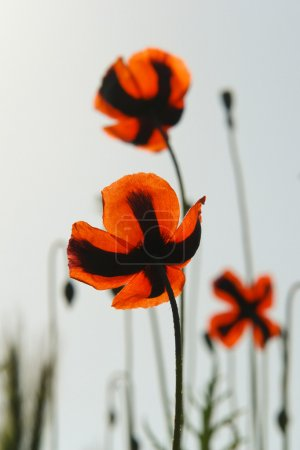 The poppies - back view - backlight
