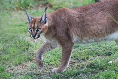 gatto selvatico Caracal