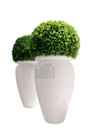 Vases with buxus isolated over white