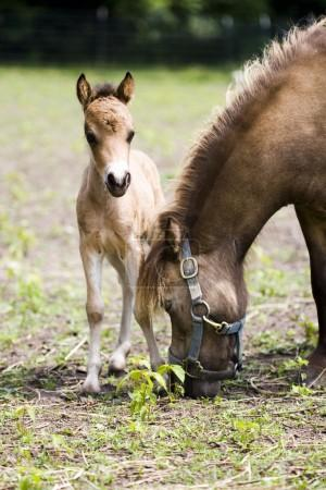 Miniature horses mother with her cub