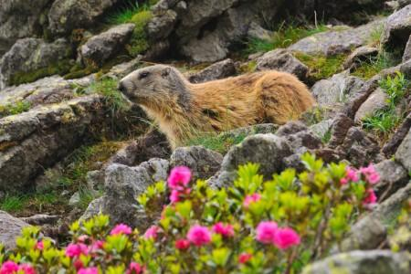 Marmot among rhododendron flowers