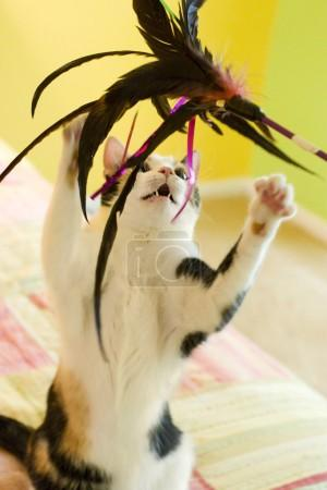 A Calico Cat Playing with a Feather Toy